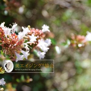 四季の花でモチベーション維持、秋の花「 アベリア」の咲く道を行く