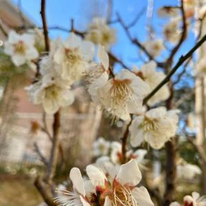 令和2月を感じる梅の花「アラフィーの時間軸」を教えてくれる花