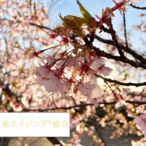仕事の備忘録は桜の記録とともに・早咲きの桜が満開