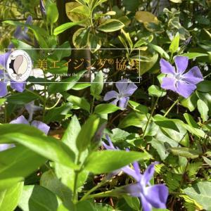 【おうちで過ごそう】庭の草花に学ぶモチベーション維持「ツル日々草」