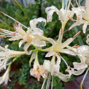 今朝の庭から。庭の花色にもこだわりを。