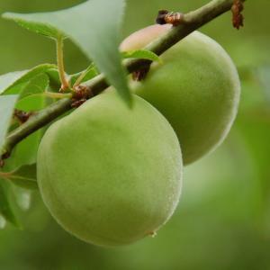 梅仕事の季節がやって来た♪ 疲れた夏の体に、今年こそ自家製梅シロップを作ってみよう!
