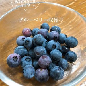 めったにない目覚めの良い朝〜ブルーベリー収穫〜