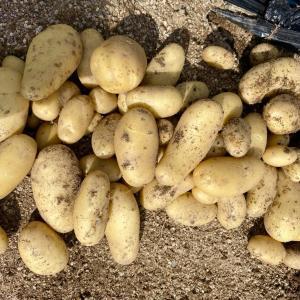 5/21 ◆◆ ニンニク、ジャガイモ収穫 ◆◆