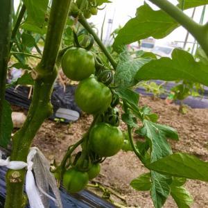 5/27 ◆◆ 菜園の夏野菜と紅はるか ◆◆