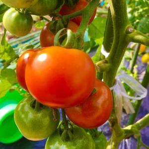 6/21 ◆◆ 菜園状況(夏野菜&さつまいも) ◆◆