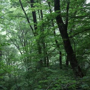 くじゅう平治岳の深い森