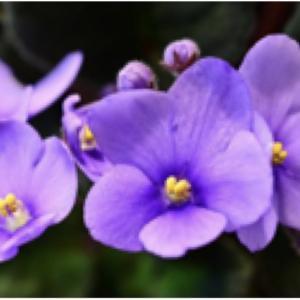 香港公園でアフリカンバイオレットが展示される・非洲紫羅蘭展覽