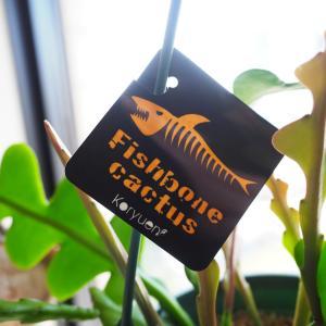 人気すぎて入手困難!?なサボテンを買いました。魚の骨のような葉、フィッシュボーンカクタス。