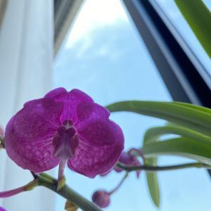 蘭の花が咲きました。蘭初心者のつぼみから開花までの成長記録。
