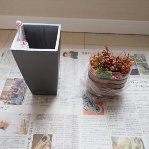 「瀕死の植物」を植え替えで救済しました。現在、復活の兆しです‼