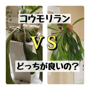 「コウモリラン」の育て方|鉢植えvsハンギング、どっちが良い?