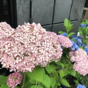 6月の草花の歳時記:山田さん家のアジサイ@奈半利町