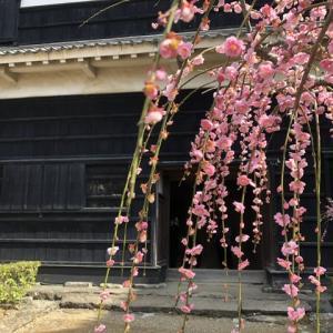 2月の草花の歳時記:高知城の梅@高知市