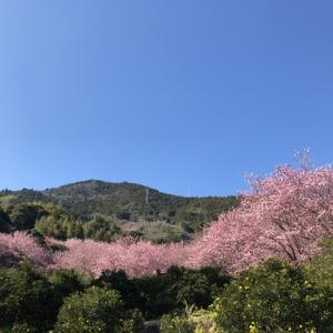 2月の草花の歳時記:雪割桜@桑田山 須崎市