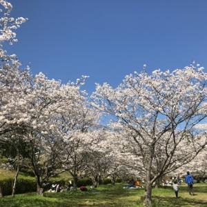 針木浄水場の桜@高知市