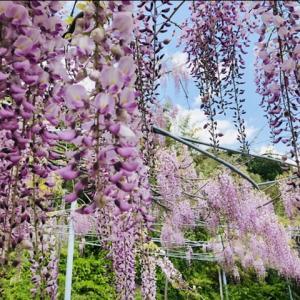 藤の花が揺らめく♪ みかん農園の藤棚@香南市山北