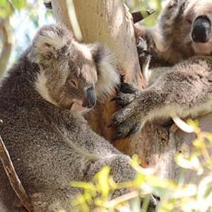 2050年には野生のコアラ絶滅