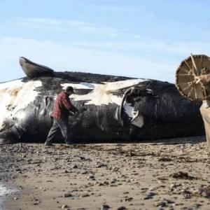 海水温の影響でセミクジラ絶滅寸前250頭