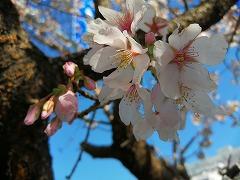玉縄桜 partⅡ