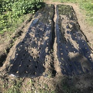 玉葱の苗植え始める