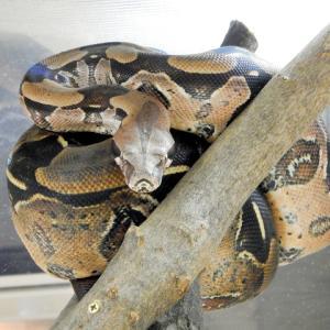 生きたウサギをヘビに食べさせる様子を配信していたYouTuberを動物愛護団体が刑事告訴