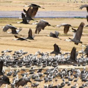 【鹿児島】今年も1万羽を超えるツルが来日。1羽確認されたタンチョウの頭はなぜ赤いのか