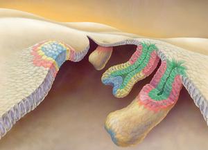 【神】理化学研究所、毛を生やす毛包幹細胞が従来の定説とは違う細胞からできていることを突き止める