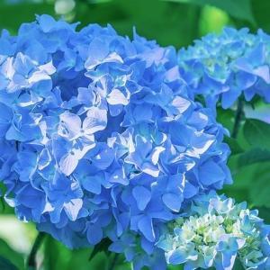 *' ̄ω ̄')梅雨のどんよりした時期は、アサガオとか花菖蒲で癒やされようぜ