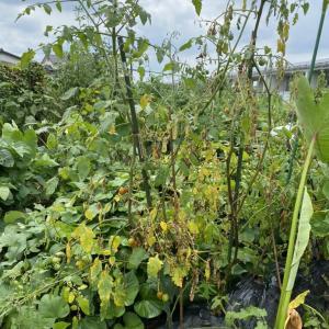 夏野菜、ミニトマト収穫とキュウリ苗〜水やり頑張る〜