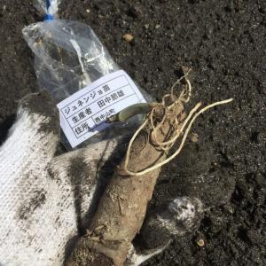 自然薯の葉っぱ成長と失敗