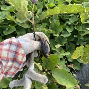 秋ナスの準備〜ナスの苗と根をカット〜