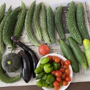 ゴーヤ豊作のため冷凍保存
