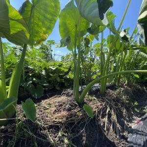 秋野菜(里芋、秋ナス、ゴーヤ)の成長