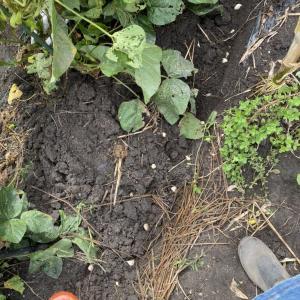ニンニク植えました!〜おまけスイカから瓢箪の成長〜