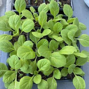 60日大根の苗を家庭菜園畑に植え付け