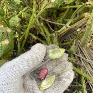 丹波黒豆の枝豆収穫時期