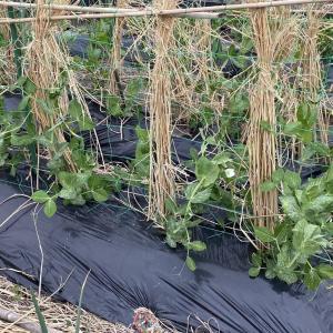 スナックえんどうの一番花、イチゴ苗、育苗箱胡瓜発芽