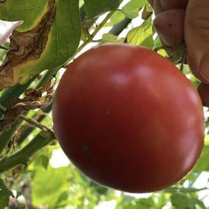 簡単!100円ジョップのおススメ!大玉トマトの害虫対策