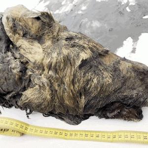 シベリア凍土から4万年前のオオカミ頭部