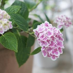 わが家の紫陽花が・・・