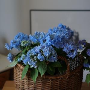 念願の吉岡麗子さんの山紫陽花