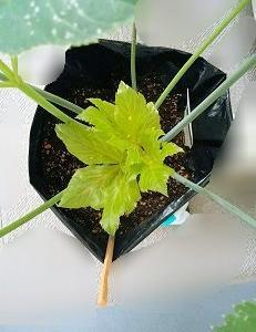 アシタバ栽培 60日目/白い点々は葉っぱの老化現象なのか?