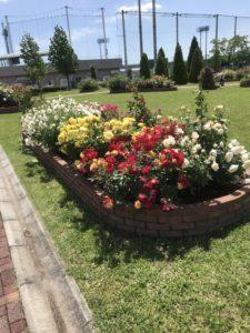 【バラの花が見頃!】神戸町のばら公園&中央スポーツ公園
