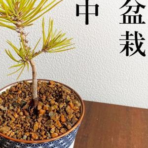 【盆栽キット】黒松盆栽を種から栽培する方法1年半記録メモ