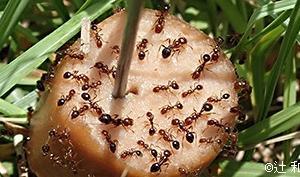 【ヒアリ】東京の青海埠頭で火蟻が200匹以上見つかる…一体どこから来たんだ…???