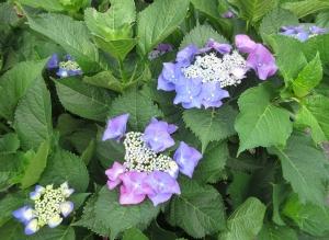 色違いの紫陽花