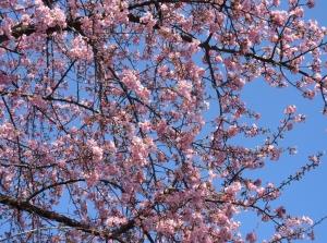 五分咲きの河津桜