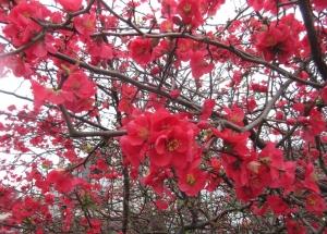 赤い木瓜の花