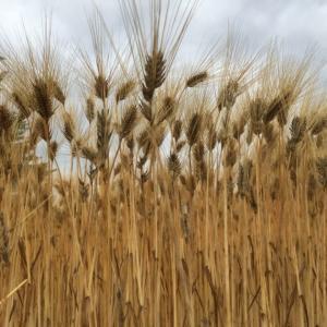 麦が実ったようだ